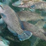 Ikan_Napoleon_Natuna_dan_Anambas_Mulai_Diekspor_via_Laut,_Nilainya_Rp_1_Miliar